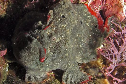 A Red-fingered Anglerfish