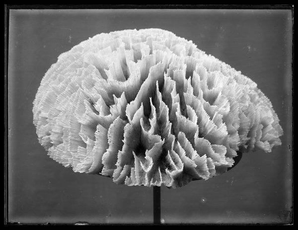 Lettuce Coral, Pectinia lactuca, 1891.