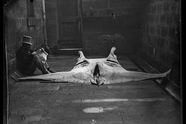 Manta Ray archive photo