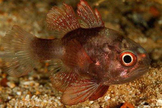 Southern Cardinalfish