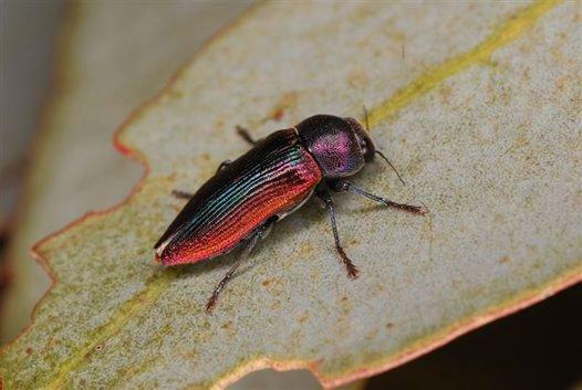 Jewel Beetle Neobubastes aurocincta