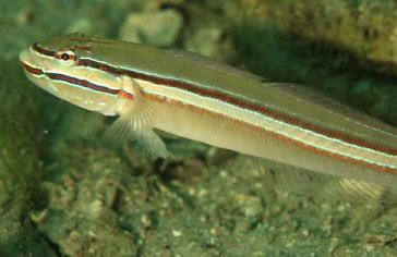 Immaculate Glidergoby