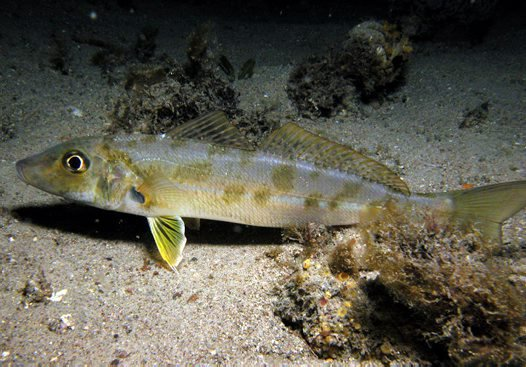 Trumpeter Whiting