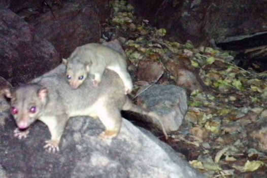 Scaly-tailed possum, Wyulda squamicaudata