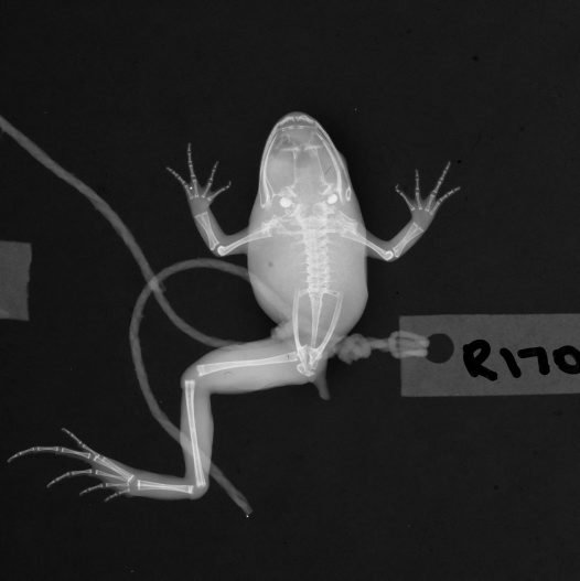 X-ray of frog