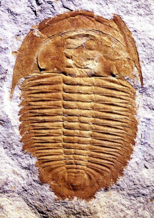 A trilobite, Xystridura templetonensis