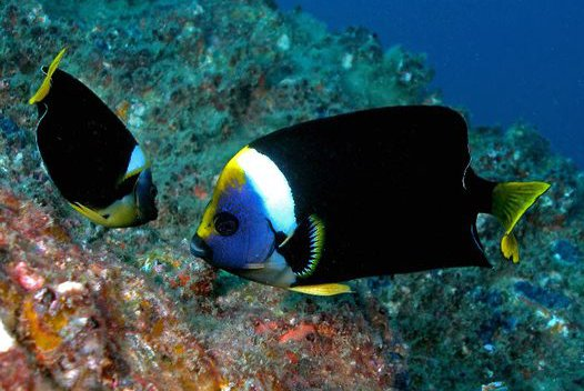 Two Queensland Yellowtail Angelfish