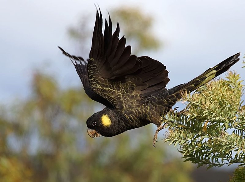 Yellow-tailed Black-Cockatoo - The Australian Museum