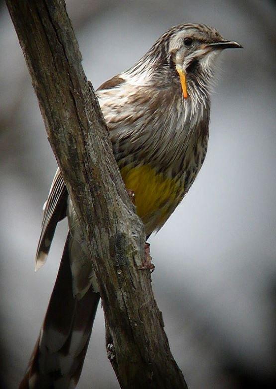Yellow Wattlebird