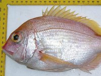 Yellowback Bream, Dentex spariformis
