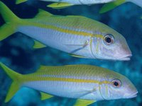 Goldstripe Goatfish