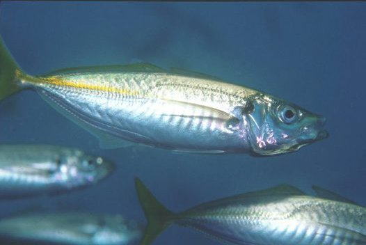 Yellowtail Scad